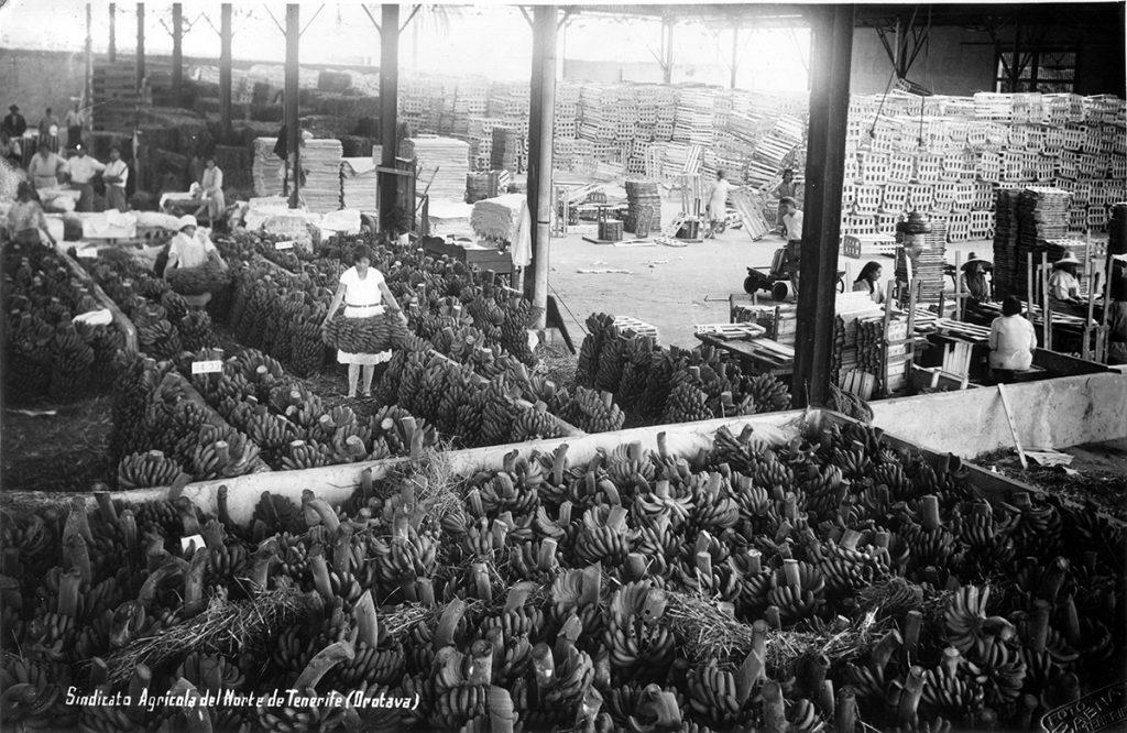 Breve historia del plátano en canarias