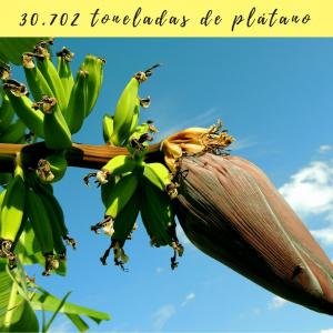 toneladas de plátano canario Bodegas Platé