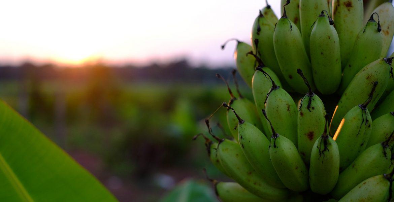 Más de 30.000 toneladas de plátano canario enviadas a Península y Baleares