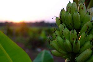 toneladas de plátano Bodegas Platé