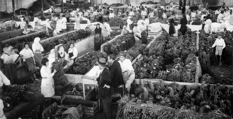 Historia del plátano en Canarias, que llegó para quedarse